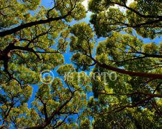 8x10 Fine Art Photograph  Tree Canopy by JasonSpeerPhoto on Etsy, $20.00