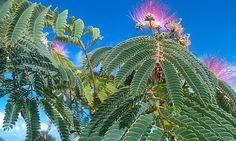 Acacia de Constantinopla o albizia julibrisim, árbol de flor rosa
