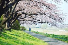 Enjoy peace walking through the Cherry Blossoms. Photo taken at Kitakami Tenshochi Park, Iwate, Japan. #cherryblossoms #peaceful #japantravel #instagram #spring #beautiful #park #japanJapan.com