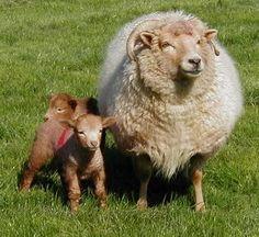 Portland ewe and lambs