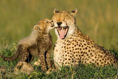 A cheetah cub licks its mother in Kenya's Masai Mara National Reserve. Adapted to life on the African plains, adults can go without water for three or four days. Perhaps an inspiration for football players, the black lines on a cheetah's face protect its eyes from the sun. Eszterhas hopes that her photos of endangered animals will create wildlife activists