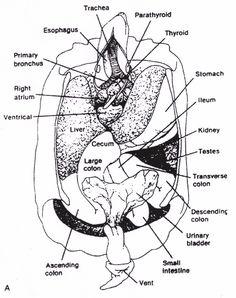 turtle skeleton    diagram      Reptiles   Amphibians   Turtle facts  Vet tech tattoo  Alligator