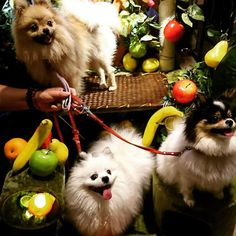 #大阪#鶴見区#ドッグカフェ#dogcafe#bar#バー#キャンベルハウス#CANBELLHOUSE#Canbellhouse#記念撮影#南国フルーツ#犬#愛犬#ポメラニアン#Pomeranian#天音あまね#華音かのん#陽向ひなた