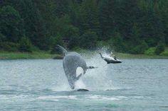 Impresionantes imágenes de orcas cazando una marsopa - Attack of the passing predator