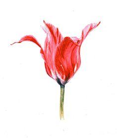 "Elegant Tulip Watercolor, 9"" x 7"" by Mark Granlund"
