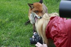 Often wary of humans, this fox  offers warm greeting: This fox offered an unusual display of affection by biting a photographer's head.