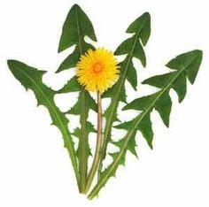 karahindiba-faydalari