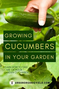 Learn how to help your cucumbers grow. By adding a little Epsom salt, it may give your cucumbers that extra boost it needs. Check out our article on how to care for your garden cucumbers. Cucumber Plant, Veg Garden, Garden Soil, Vegetable Gardening, Garden Fun, Garden Paths, Gardening For Beginners, Gardening Tips