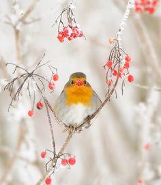European Robin (Erithacus rubecula) (par m. Pretty Birds, Love Birds, Beautiful Birds, Animals Beautiful, Cute Animals, Animals Amazing, Pretty Animals, Baby Animals, Beautiful Pictures
