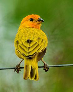 Confira lindas fotos de canário-da-terra e compartilhe com seus amigos! Canario Da Terra, Wild Photography, Hummingbirds, Bird Watching, Bird Art, Beautiful Birds, Bird Houses, Pet Birds, Parrot