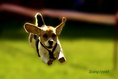 Cute Flying Dogs Photography