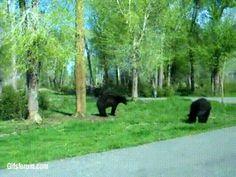 Incredible bear fight!! - Imgur