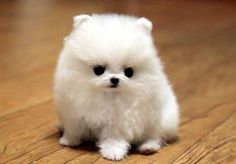 Pomeranian, Cute Baby Animals, Cute Babies, Teddy Bear, Puppies, Dogs, Image, Army, Search