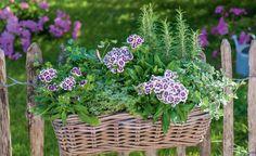 Das ländliche Ensemble aus Bart-Nelke (Dianthus barbatus), Rosmarin, Oregano und Petersilie ist ein Blickfang am Staketenzaun. Die hübsch gezeichneten Blüten kommen zwischen den würzig-grünen Kräutern toll zur Geltung