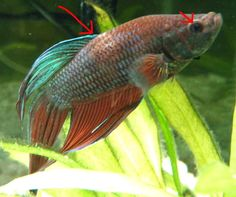 Fin and tail rot in betta fish sick betta fish for Sick betta fish