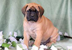 Heaven   Keystone Puppies: Puppies for Sale   Health Guaranteed    #english #mastiff #keystonepuppies