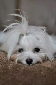 Maltese - they are the cutest of breeds!