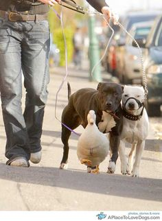 Owner Steph Tuft, 25, takes duck Essy for a walk with her Staffordshire cross dogs Rachka, aged 2 (left) and DD, aged 4, in Bournemouth, England. Essy, a 9-month-old Cherry Valley duck, thinks she is a dog, and likes to walk with the other two pets.