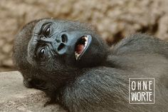 Free stock photo: Monkey, Gorilla, Zoo, Animal - Free Image on Pixabay - 1346590 Zoologist Career, Gorilla Zoo, Keystone Species, Drawing Wallpaper, Mountain Gorilla, Trophy Hunting, Pet Monkey, Save Animals, Wild Animals