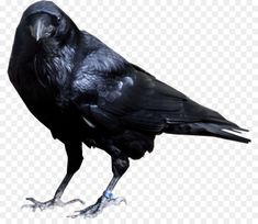 Raven Bird, Crow Bird, Bird Clipart, Vector Clipart, Raven Flying, American Crow, Dslr Background Images, Clipart Black And White, Art Images
