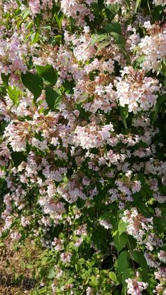 17: Kolkwitzia amabilis / Kolkwitzie / Perlmuttstrauch – wunderschöne, rosaweiße Blütendolden begeistern ab Mai