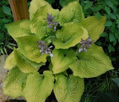 Giant Hosta CultivarUpright vase-shaped hosta that forms a beautiful giant mound of corrugated gold foliage.Wavy gold leaves are nicely corrugated with wh