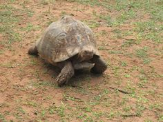 Leopard Tortoise romping around the midday heat. Only found in South Africa.