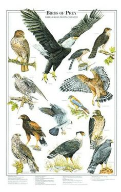 Birds of Prey | Books & Field Guides, Bird Identification Guides For North America ...