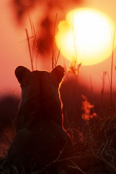 -Lion Silhouette Wallpaper : Lion at Sunset Photo : Animal Planet Beautiful Creatures, Animals Beautiful, Cute Animals, Phoenix Legend, Ocelot, Mundo Animal, Belle Photo, Big Cats, Beautiful World