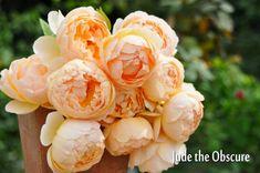 【楽天市場】メインカテゴリ > イングリッシュローズ 苗 通販 −English Roses−大苗 > さ行 【イングリッシュローズ −English Roses−】No.2 > ジュード ディ オブスキュア:バラの家 【バラ苗専門店】