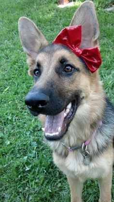 I've always wanted a German Shepherd! But I'll just keep waiting till the right time comes :)