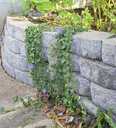 Image result for large leaf vinca on retaining wall