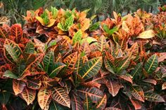 Croton Petra : MillenniumNusrery, Landscaping Ideas and Products