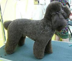 Look at that scissor work! Dog Grooming Styles, Grooming Shop, Poodle Grooming, Cat Grooming, French Poodles, Standard Poodles, Adorable Puppies, Cute Dogs, Doggies