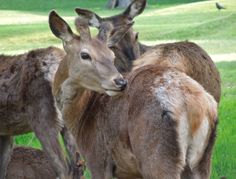 Young deer grooming itself in Wollaton Park