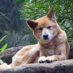 The Dingo - the wild dog of Australia. They may be cute, but they are vicious wild animals.