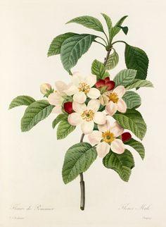 Pierre Joseph Redouté -- 'Fleurs de Pommier' -- Pierre-Joseph Redouté -- Artists -- RHS Prints