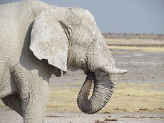 Elephant, Ethosha National Park, Namibia