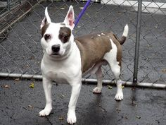SAFE 5/12/13 Manhattan Center  COOKIE - A0964957  MALE, WHITE / BROWN, PARSON RUSS TER MIX, 8 yrs cookie was surrenedereed along with her sister because of personal problems. Please don't let her die at the hands of the ACC share  https://www.facebook.com/photo.php?fbid=609628745716675=a.172404072772480.42595.152876678058553=1