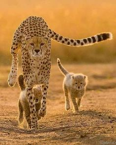Cheetah Family Photo, these big cats are in great danger of becoming extinct, how tragic that would be. Nature Animals, Animals And Pets, Baby Animals, Cute Animals, Cheetah Family, Big Cat Family, Big Cats, Cats And Kittens, Cute Cats