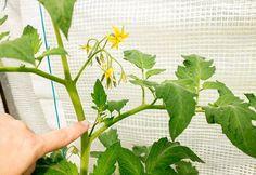 Pruning Tomato Plants, Tomato Fertilizer, Tomato Seedlings, Tips For Growing Tomatoes, Growing Tomatoes In Containers, Growing Plants, Grow Tomatoes, Growing Gardens, Growing Veggies