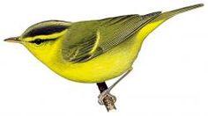 Sulphur-breasted Warbler (Phylloscopus ricketti)