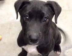 Meet Moose, one of our newest foster babies. #rescuedogs #adoptdontshop #puppy #puppyeyes #puppylove #puppies #moose
