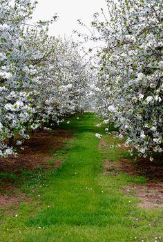 Fruitboomgaard (orchard), Eijsden, Zuid-Limburg, Netherlands