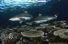 The Fiji Shark Dive - The Shark Dive