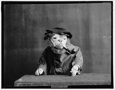 Bulldogs as grumpy old men and women in 1905