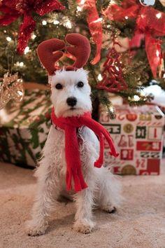 Psiak też musi być Świąteczny ! :)
