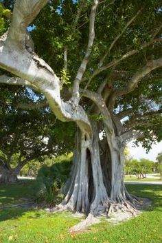 How to Identify Types of Fig Trees