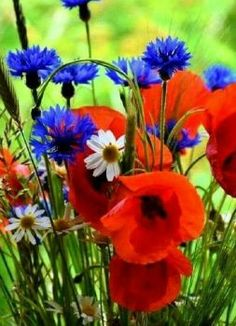Close-up of same wildflowers, I think poppies and cornflowers combine beautifully. Blue Flowers, Wild Flowers, Beautiful Flowers, Flowers Nature, Beautiful Nature Spring, Wild Flower Meadow, Red Poppies, Spring Flowers, Flower Power