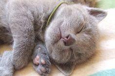 寝ている子猫のロシアンブルー